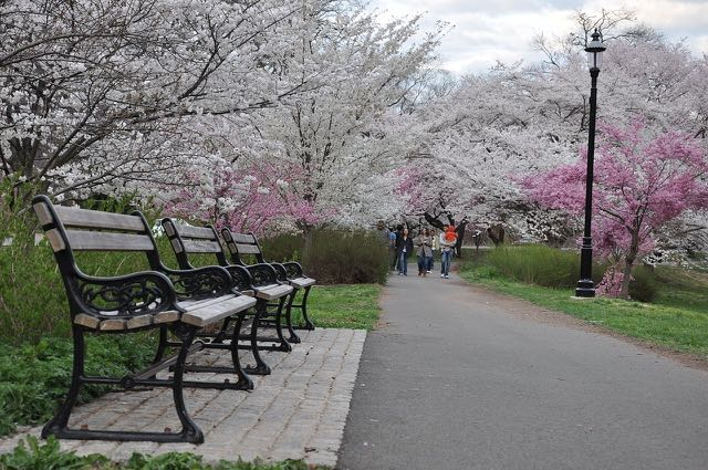 1280px-Cherry_Blossom_in_Branch_Brook_Park,_NJ_-_2012